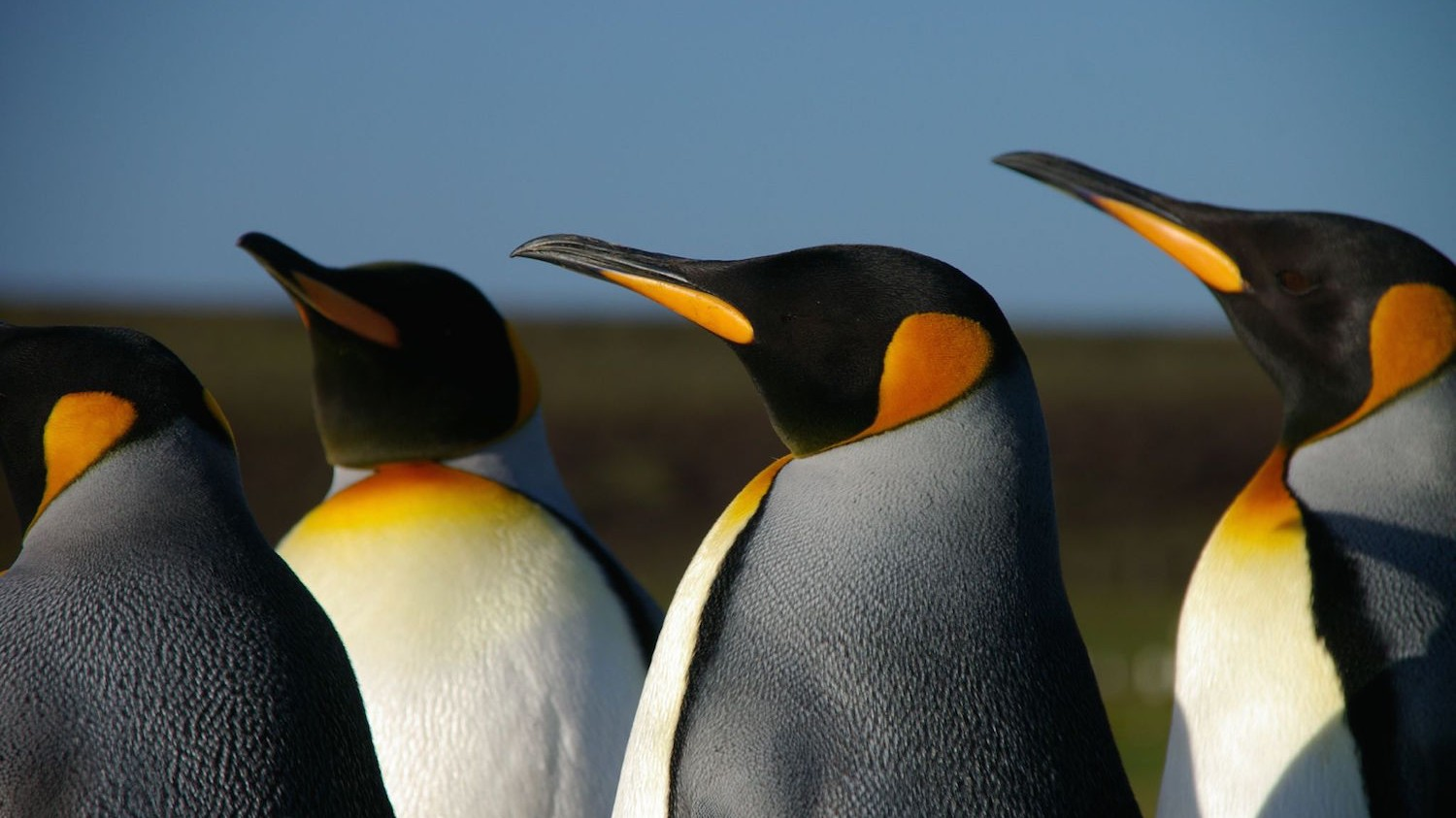 Study Shows King Penguins Choose Mates Based on Their Colorful Beaks