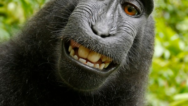 Did PETA Name the Right Macaque in Its 'Monkey Selfie' Lawsuit?