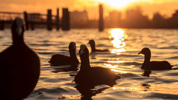 Drones Could Stop Ducks From Eating Mussel Farmers Out of Business