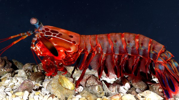 Behind the Top Secret Light-Based Communications of the Mantis Shrimp