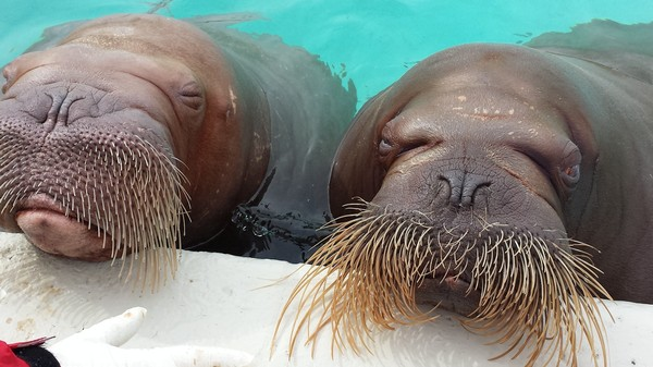 Two Walruses Are Pregnant In Canada, And the Odds Are Against Them