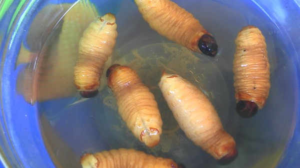 A Scientist Has a Solution to Antibiotic Resistance—Genetically Modified Maggots