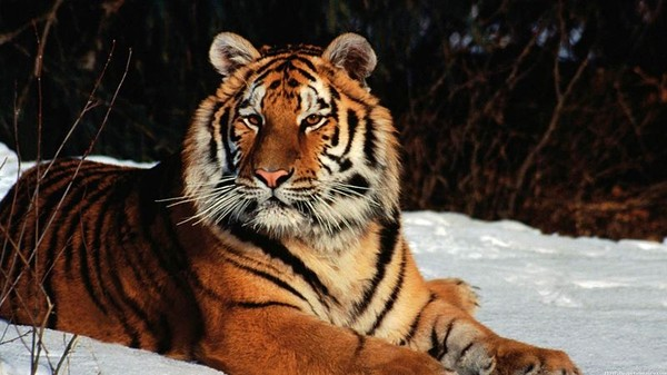 Satellite Imagery Reveals that Tiger Populations Could Double by 2022