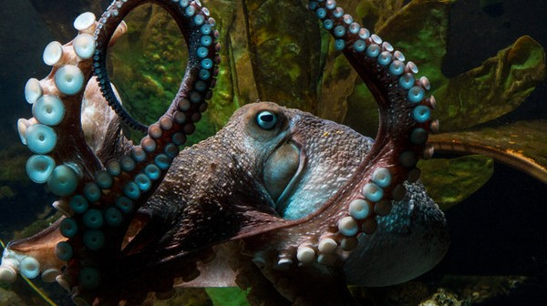 The Loneliness of the Long-Distance Octopus