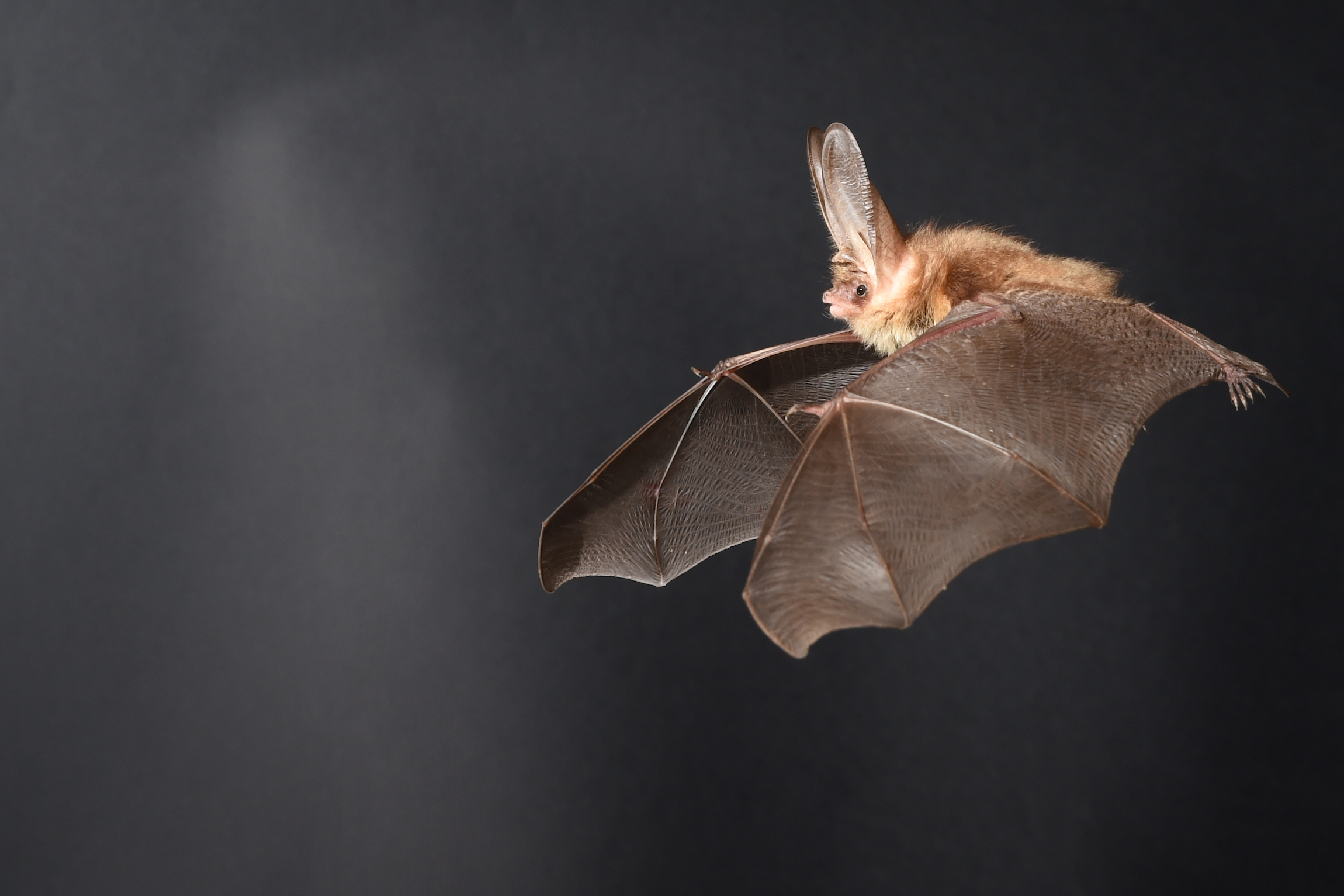 Scientists Zapped Bats With