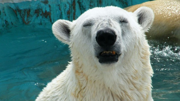 These Polar Bears Are Pooping Glitter, For Science