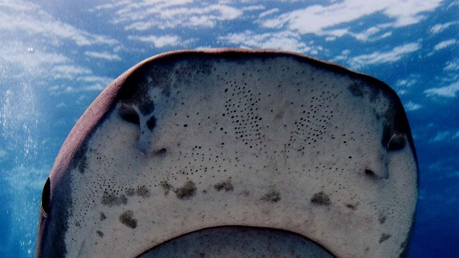 Sharks' 'Jelly' Found to Have Highest Proton Conductivity of Any Animal Material