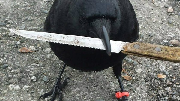 Crow Attacks Have Gotten So Bad That a Scientist Built a Tool to Map the Carnage