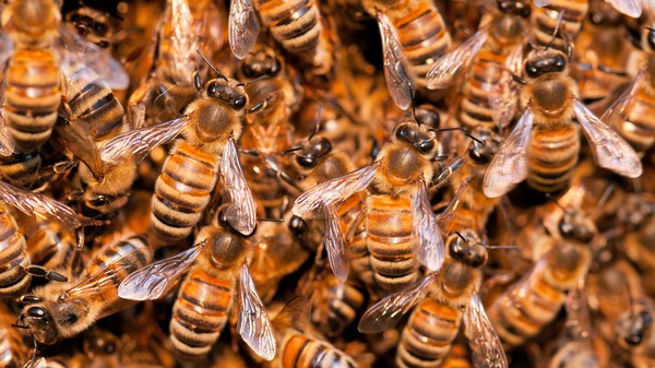 Honey Bee Extinction Will Change Life As We Know It