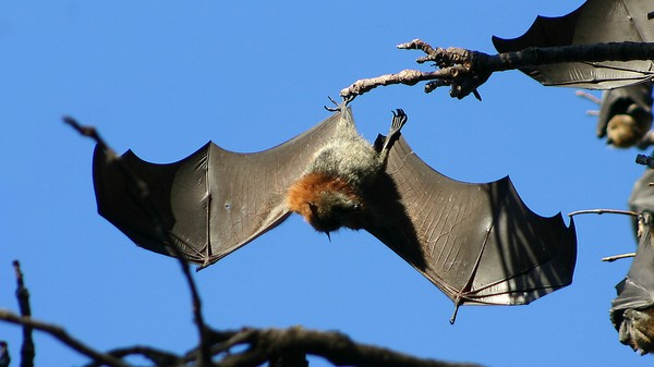 Plague of Bats Holds Australian Town Hostage with Aerial Shit Blitz