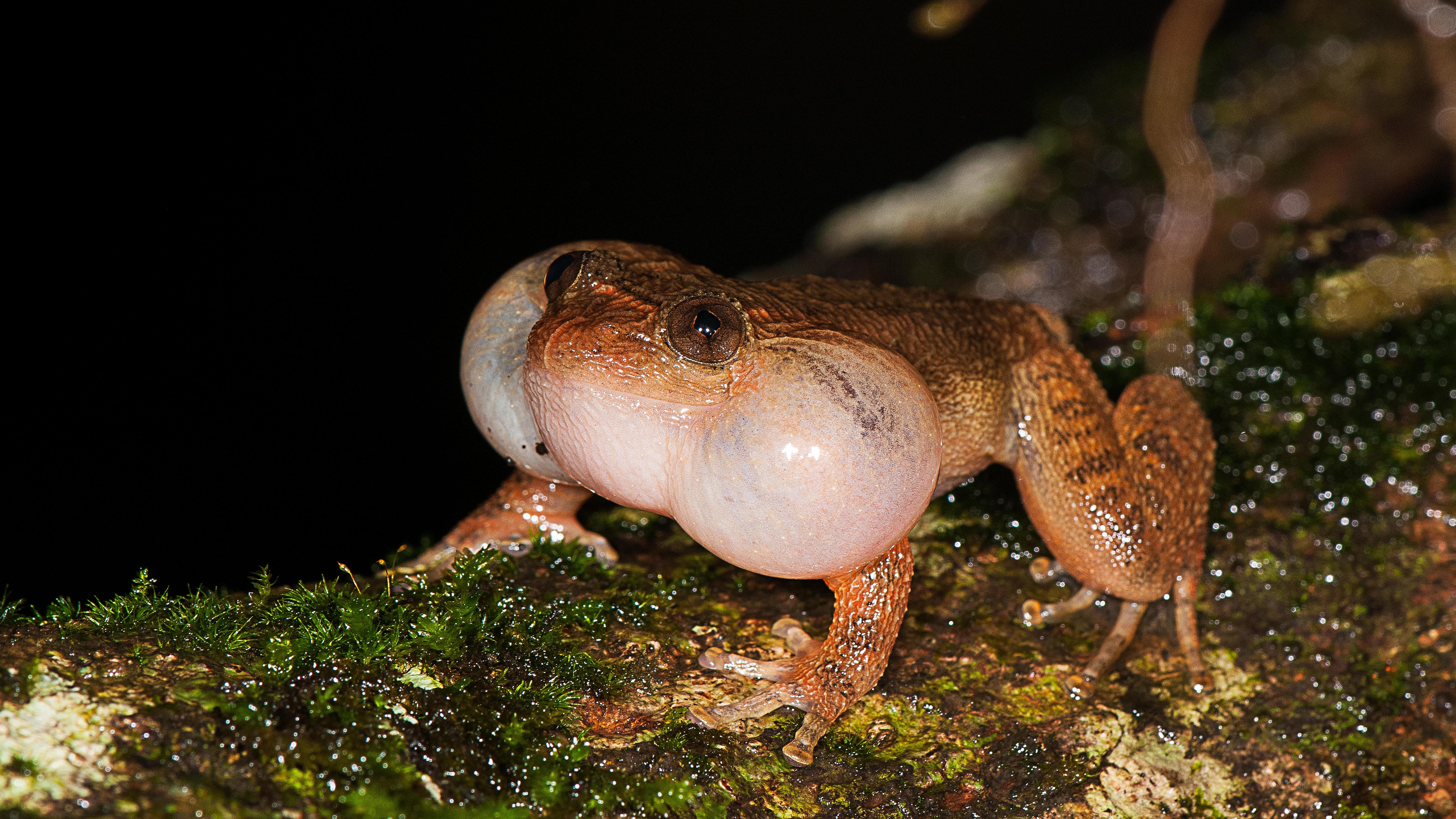 New 'Froggy Style' Sex Position Discovered in Bombay Night Frogs