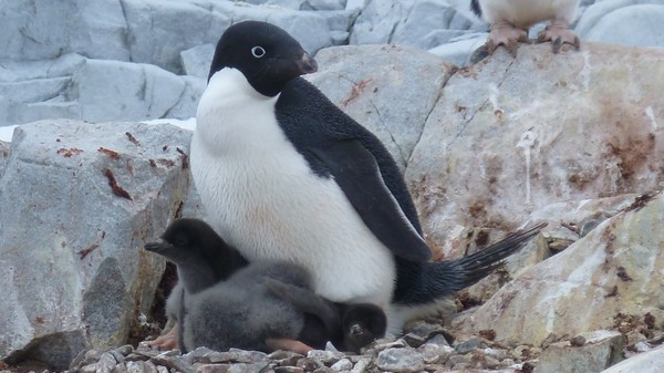 60 Percent of Some Antarctic Penguin Colonies Could Decline by 2100, Study Says