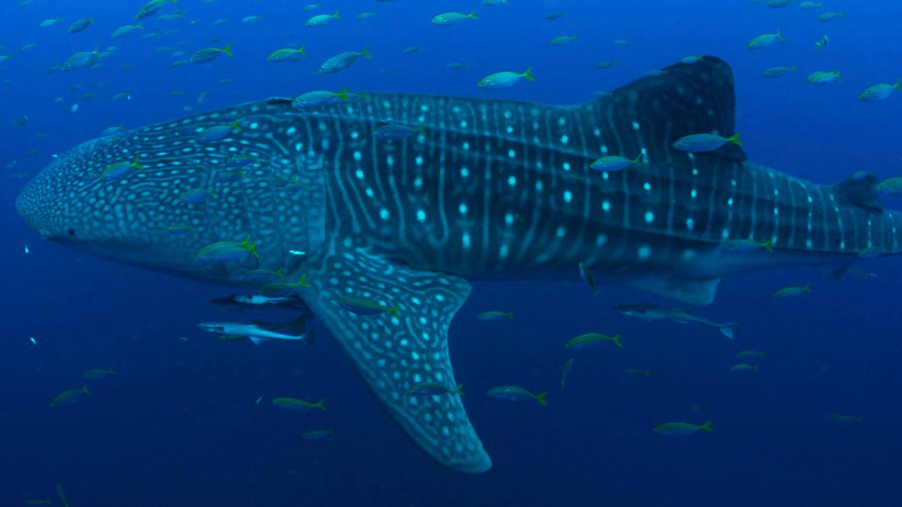 The Mysterious Lives of Whale Sharks Are Now Revealed in Near-Real-Time