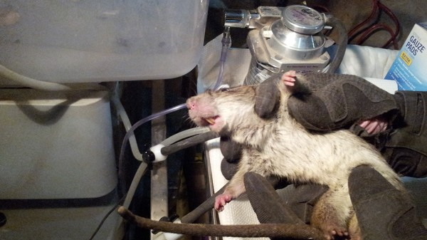 Researchers Are Chipping and Surveilling NYC's Rats