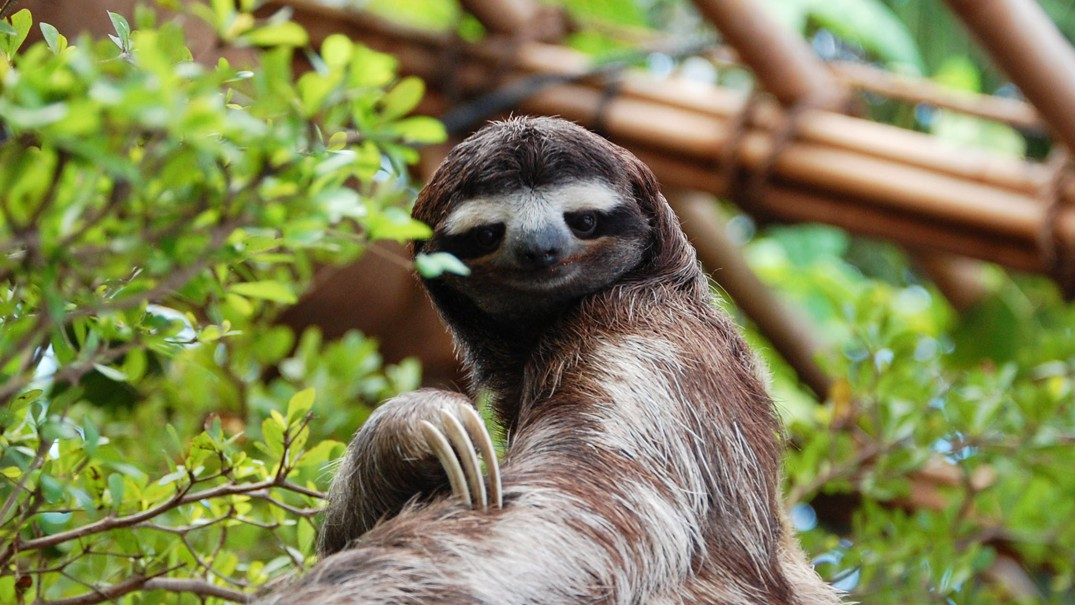 Why Sloth Evolution Is So Sloth-Like