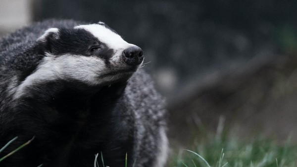 Badgers Are More Scared of the BBC Than Bears