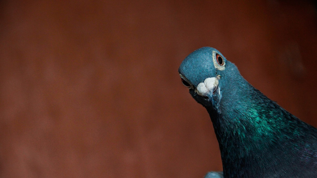 This Guy Is the Lance Armstrong of Pigeon Racing