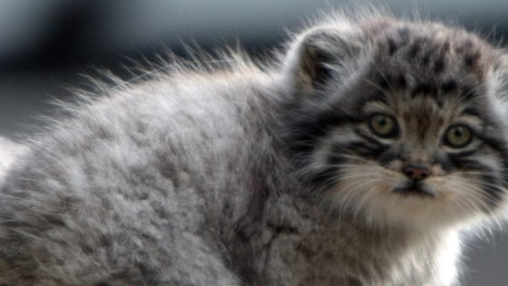 Watch Wild Manul Kittens Playing in Mongolia; Be Changed
