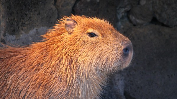 Is Florida About to Be Swamped With Capybara?