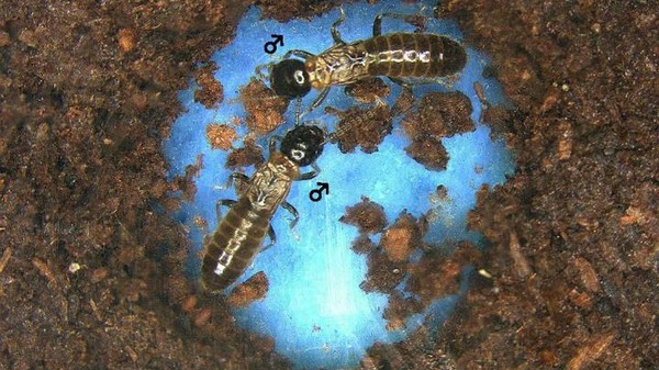 Male Termites Open to Same-Sex Relationships in Absence of Females