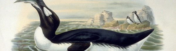 Geneticists Want to Bring the Great Auk Back From the Dead