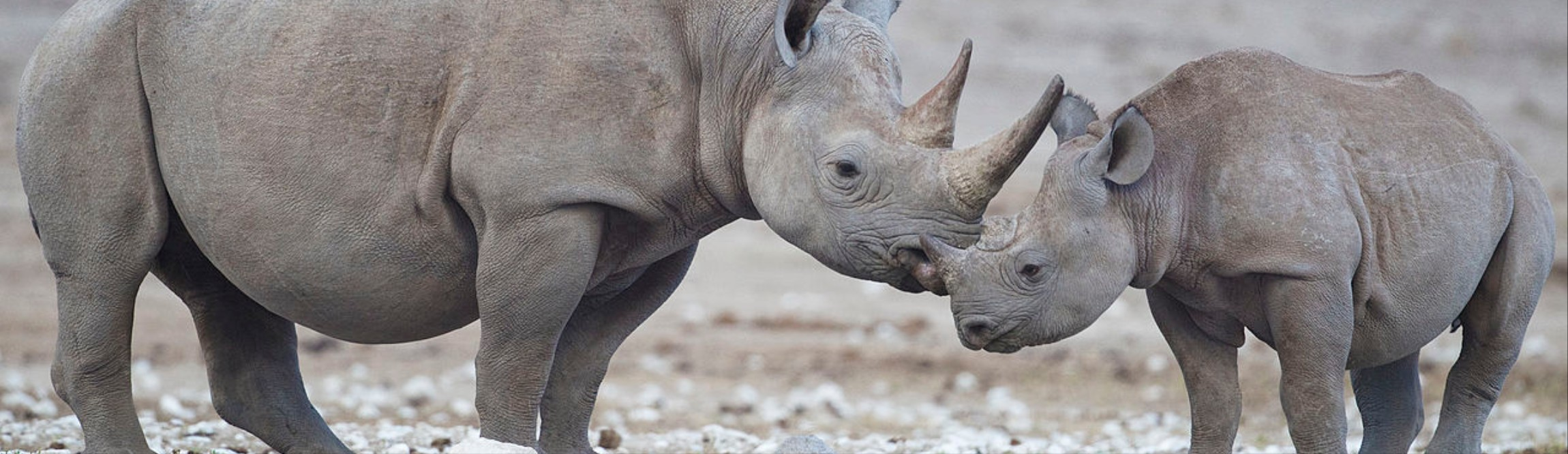 Dehorning Rhinos: A Whole Country Is Banking On It