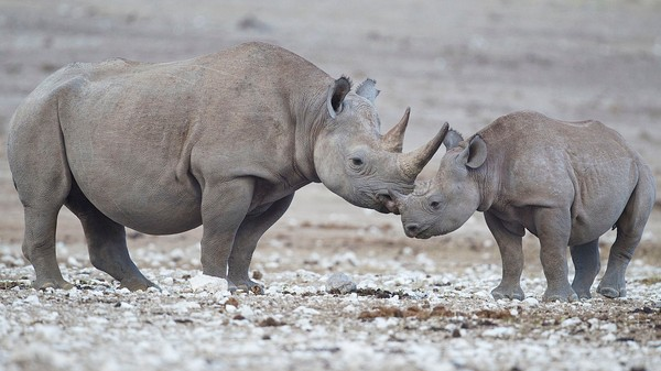 Zimbabwe Wants to Dehorn Its 800 Rhinos to Prevent Poaching