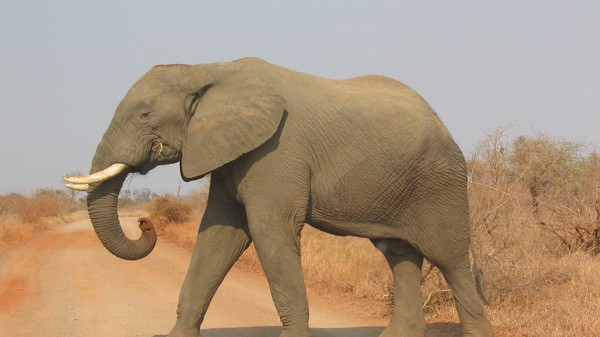 As Elephant Populations Drop, We Learn Even Their Footsteps Serve a Purpose