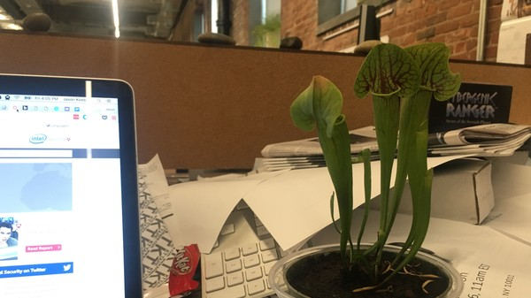 Will a Carnivorous Pitcher Plant Solve VICE's Fly Problem? An Investigation