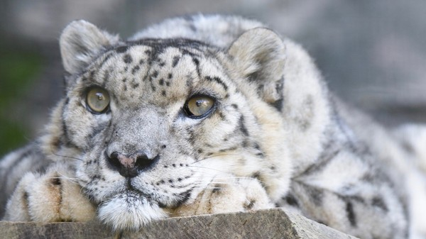 Climate Change Will Leave Snow Leopards With Just One-Third of Their Habitat