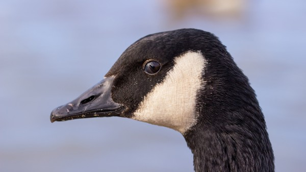 Boston Is Covered In Goose Poop and People Are Mad As Hell