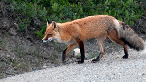 If You've Ever Dreamed of Becoming a Fox, Here's the Closest You'll Get