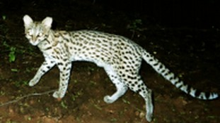 A New Species of Jungle Cat Was Hiding in Plain Sight