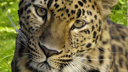 Watch an Amur Leopard, the World's Rarest Big Cat, Take Her Cubs for a Stroll