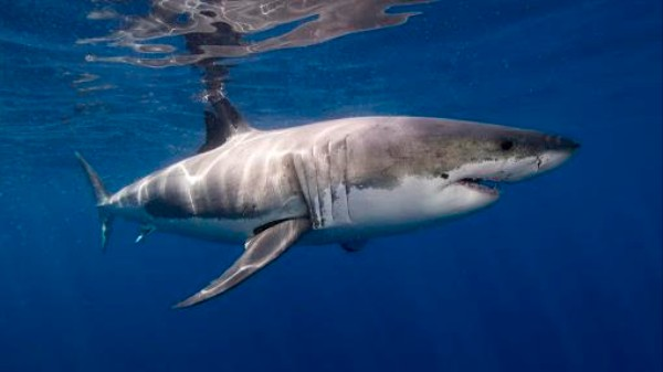 Thanks to Nuclear Bombs, We Now Know Sharks Can Live to 70