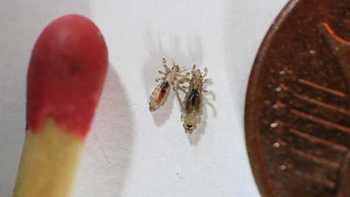 Lice Are Evolving Faster Than Humans