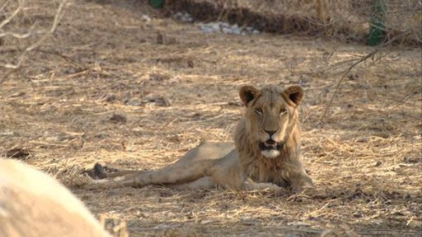 Who Will Pay to Save West Africa's Lions?