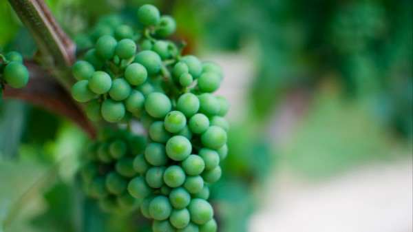 New Types of Yeast Could Stave Off Wine's Climate Change Problem