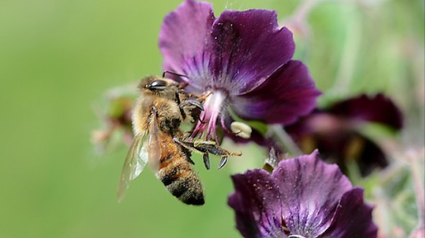 This Virus Pushes Struggling Bee Colonies Over the Edge