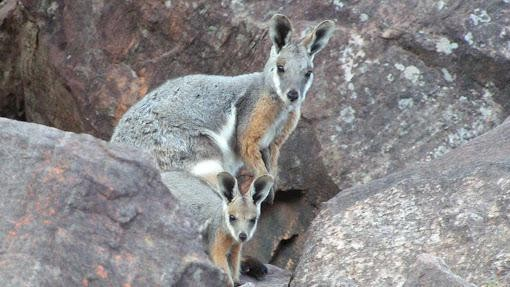 Why Australia Is Pouch-Swapping Wallaby Joeys