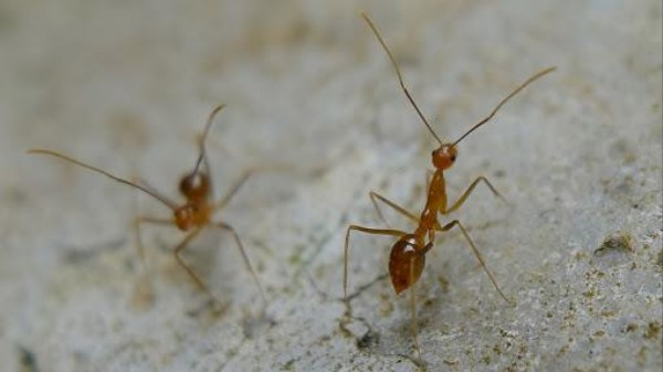 Crazy Ants Are Winning the Invasive Ant War By Neutralizing Fire Ant Venom