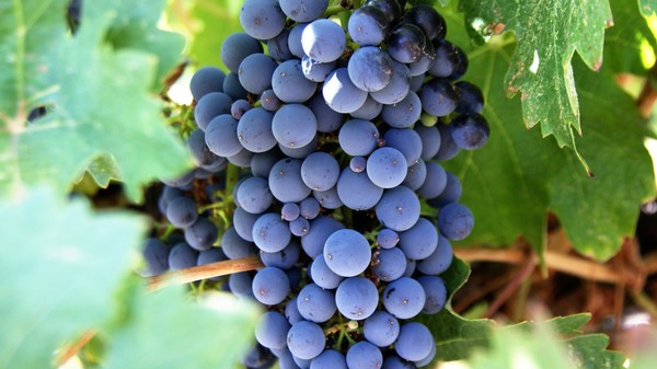 Now Wine Grapevines Get Acne, Too