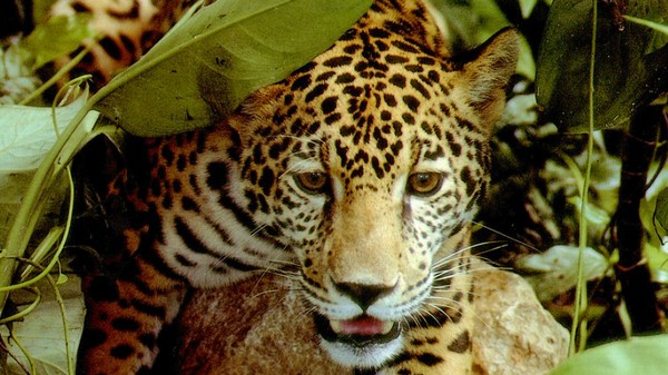 Oil-Threatened Ecuador Is a Jaguar Hotspot