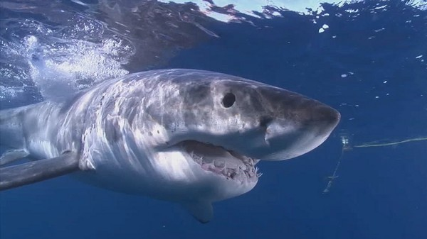 What We Know About Lydia, the First Great White Shark Tracked Over the Atlantic