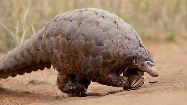 The Overwhelmingly Cute Pangolin Is the Most Trafficked Mammal on Earth