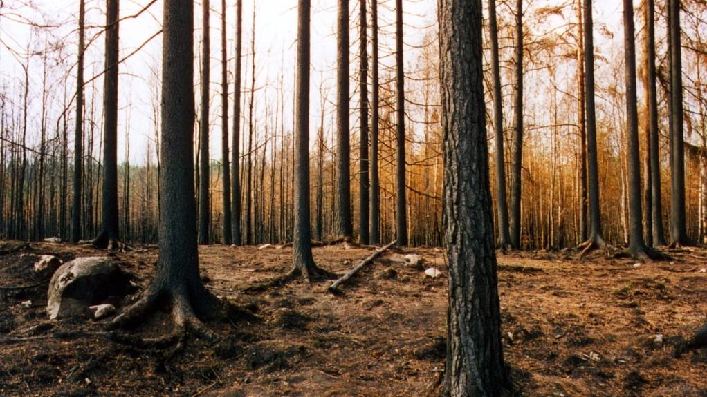 De droge bomen van Tsjernobyl kunnen een radioactieve bosbrand veroorzaken