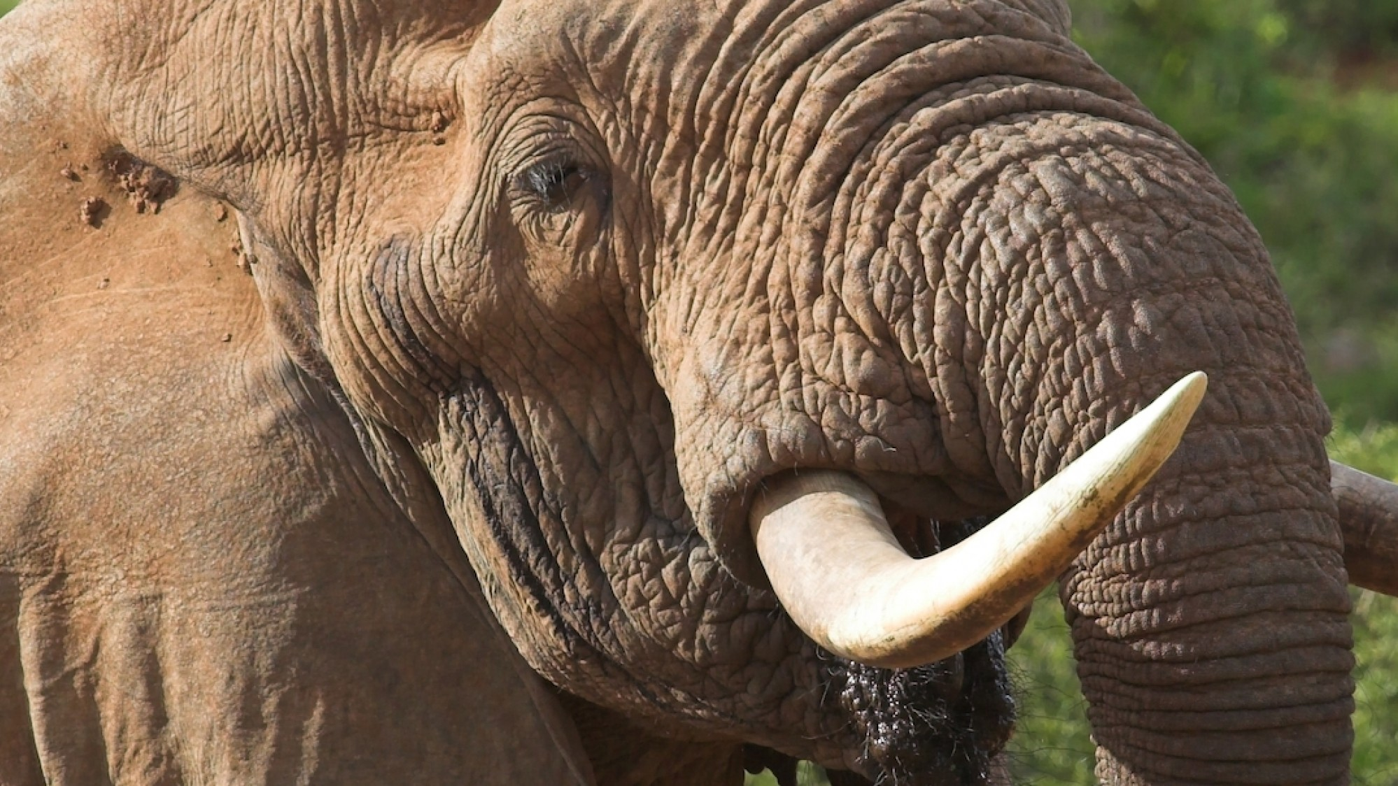 It's Still Really Easy to Buy Illegal Ivory Online