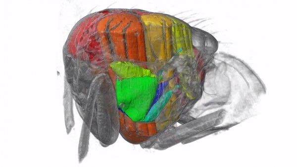 How a Blowfly Flies, Viewed from Inside