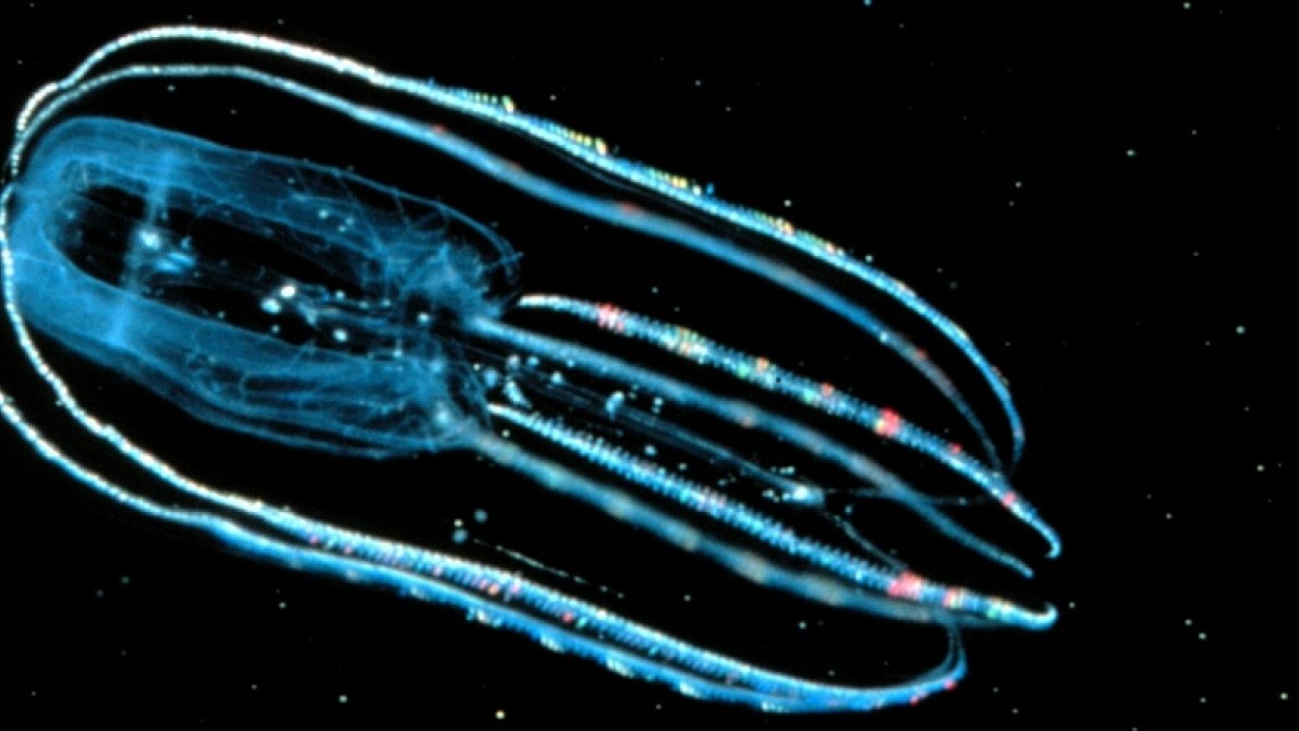 The Unexpectedly Beautiful Squish of the Comb Jelly