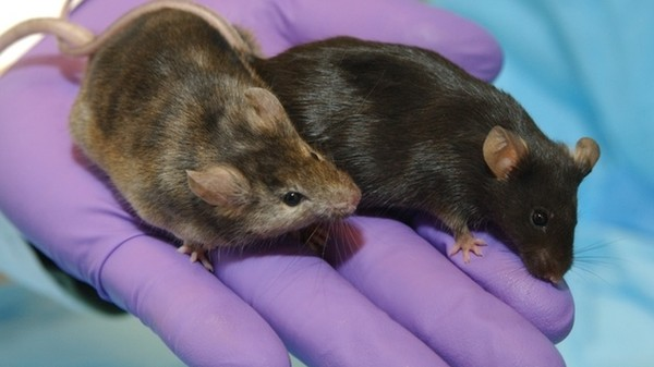 How Male Researchers Are Stressing Out Lab Rats